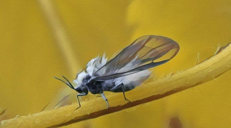 雪虫 大量発生 原因 被害 対策 生息地 期間 いつ